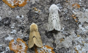 Buff and white ermine moths, wings closed