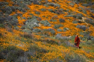 A Buddhist monk walks among poppies on the hills of Walker Canyon