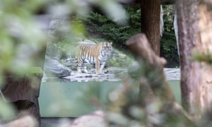 The tiger male Sayan in the restricted area at the Zoo Zurich after the accident in which a keeper was attacked and fatally injured by the female, Irina.