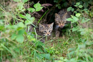 Wildcats at Derek Gow's farm in Upcott Grange, Devon, UK