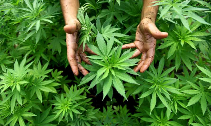 A worker with cannabis plants to be used in pharmaceuticals at a farm near the northern Israeli town of Safed. Medicinal cannabis products are mostly imported to Australia in the absence of a nationally consistent licencing scheme for growers.