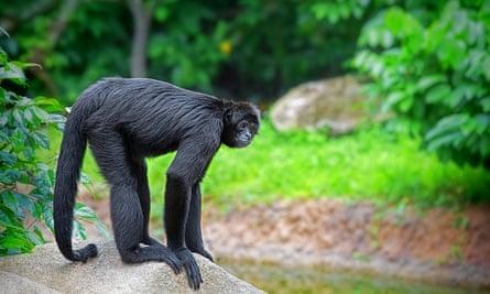 Wild spider monkey.