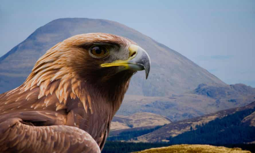 A golden eagle near Loch Frisa on the Isle of Mull in Scotland