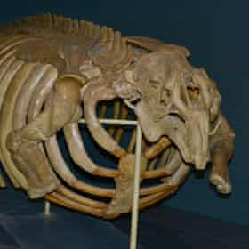 The remains of a juvenile Steller's sea cow at the Finnish Museum of Natural History in Helsinki