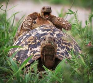 A little leopard tortoise jumps on a friend's back in Tarangire National park, Tanzania.