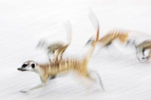 Runner-up, mammals: Meerkats on the move