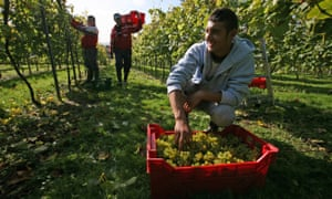A vineyard in Sussex, one of many food and drink manufacturers that rely heavily on migrant workers