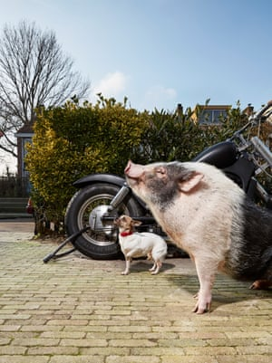 Miniature pig Spekkie photographed by Isabella Rozendaal in Amsterdam.