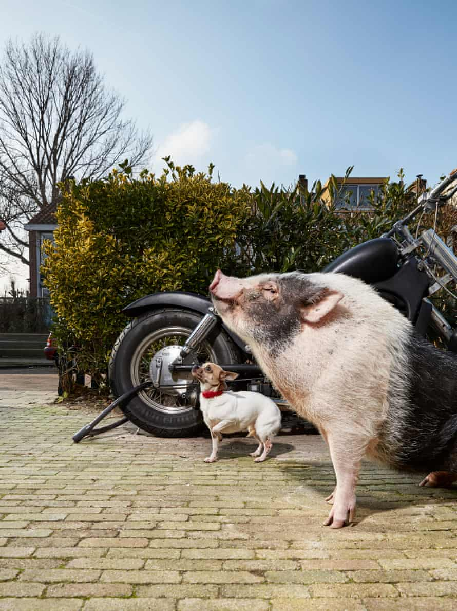 Spekkie, age two, a miniature pig.
