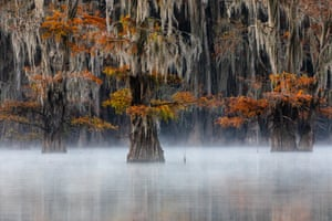 Bald cypress, East Texas, USA: gold prize in plants and fungi
