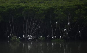 Egrets rest in a mangrove in Dongzhaigang nature reserve in Hainan province, southern China