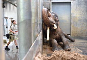 Keeper Lucy Truelson washes Asian elephant Bong Su as he lies agains the barrier in his enclosure at Melbourne Zoo. Bong Su, who is the largest animal in Australia, showed media his morning bath time routine ahead of World Environment Day.