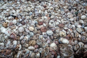 The pangolin pit, Paul Hilton UK/Australia Winner, wildlife photojournalist award: Single image Nothing prepared Hilton for the sight of 4,000 defrosting pangolins (five tonnes) from one of the largest seizures of the animals on record. They were destined for China and Vietnam for the exotic meat trade or for traditional medicine. Pangolins have become the world's most trafficked animals, with all eight species targeted.