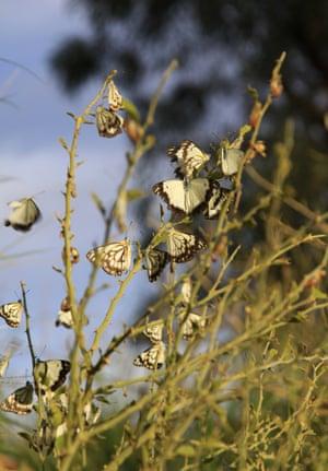 Caper white butterflies