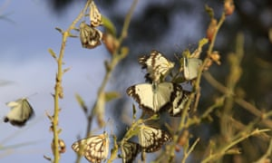 An influx of tens of millions of caper whites descended upon south-east Queensland