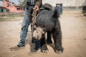 A rescued bear being transported from a police station in Nepal's southern Rautahat district to the Parsa Wildlife Reserve. Nepali authorities have rescued the country's last known 'dancing bears', officials said, ending the medieval tradition.