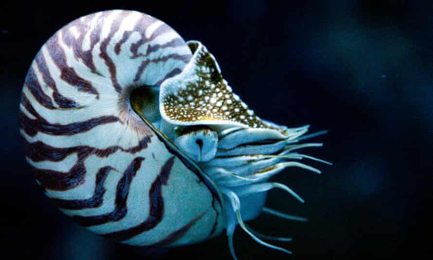 Chambered nautiluses are inevitably described as living fossils despite modern species appearing around the same time as our closest ancestors