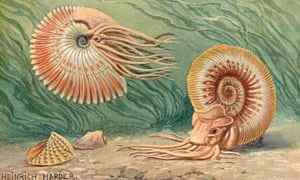 Early 20th Century reconstructions showing very nautilus-like fleshy hoods, tentacle mass and colouration
