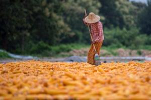 A worker prepares corn in a field in Naypyidaw, Myanmar