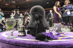 Standard poodle Siba sits in the winners circle after winning best in show
