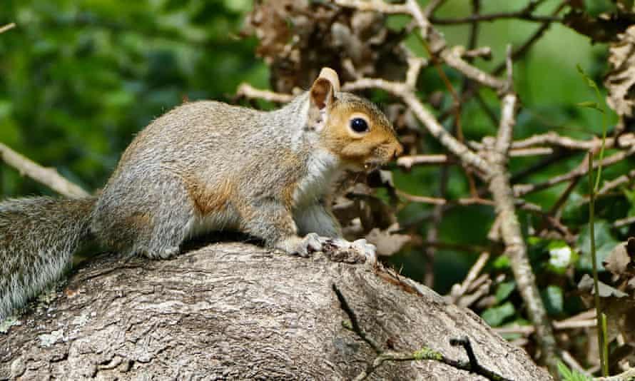 Recent conservation efforts have been focused on killing grey squirrels.