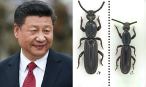 Cheng-Bin Wang, who discovered the beetle, likened its taste for rotten wood to measures from Xi Jinping, above, to tackle corruption.