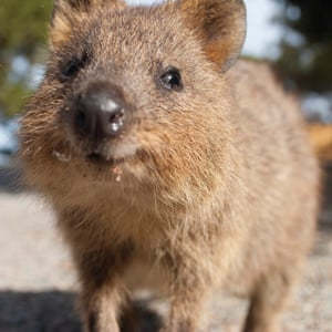 A quokka on Rottnest Island.