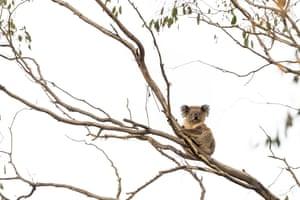 A koala sits in a tree a few weeks after the bushfire.
