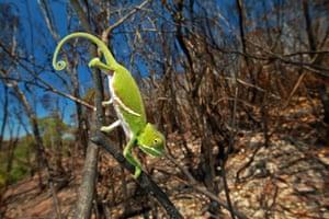 A juvenile two-banded chameleon in a recently burned landscape