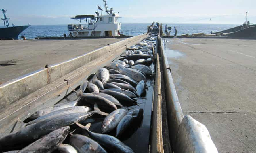 Tuna fish are unloaded in the southern Philippine island of Mindanao