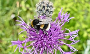 A bee on a thistle.
