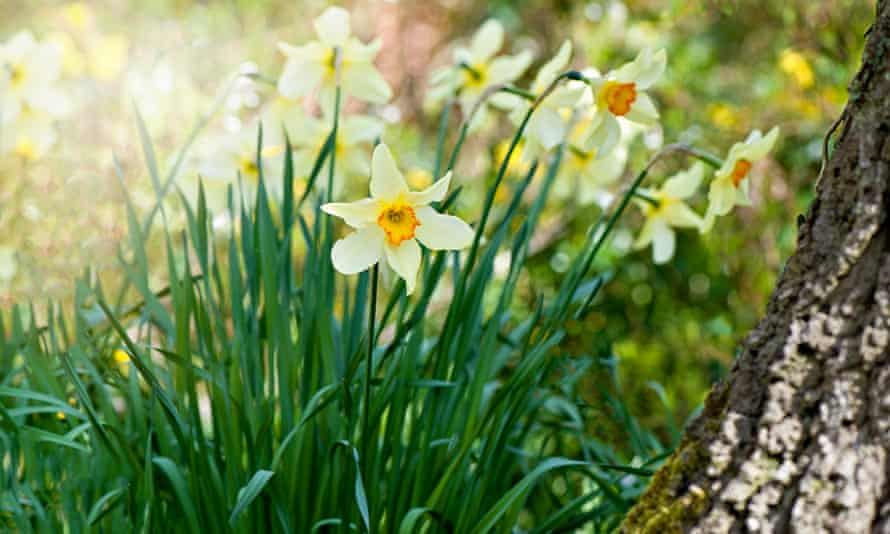 Orange centred yellow, spring flowering daffodils