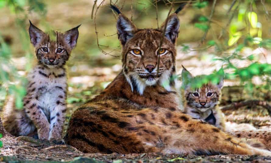 Lynx with two cubs