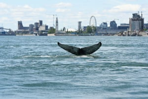 The tail of a humpback whale swimming in the water by Montreal