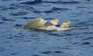 Olive ridley turtles (Lepidochelys olivacea) mating in the ocean, near Papagayo Peninsula, Guanacaste, Costa Rica.