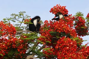 Colobus monkeys eat the flowers of a flamboyant tree, also known as Royal Poinciana, in Diani Beach, Kenya