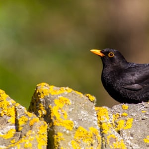 A male blackbird