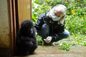 This baby gorilla, named Shamavu after the ranger who rescued him, was found hidden in a small rucksack during an undercover operation targeting poachers in DR Congo.