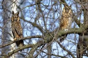 A pair of long-eared owls perch on a tree near Hortobágy, north-east Hungary