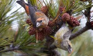 Crossbills – female, right, male left – feeding on cones.