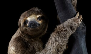 The pale-throated sloth uses its sense of smell to detect healthy tree branches.