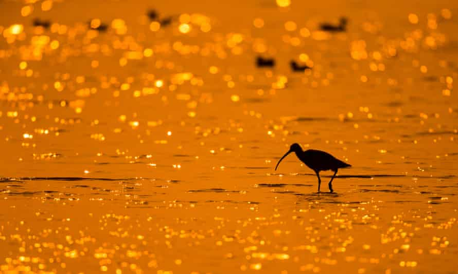 Silhouette of a Eurasian curlew