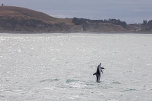 A Dusky dolphin jumps out of water in Kaikoura bay in Kaikoura peninsula, South Island, New Zealand