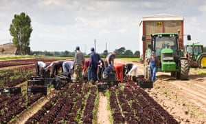 EU nationals picking lettuce on a UK farm