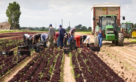 Foreign workers harvesting lettuce in the Lincolnshire Fens, UK