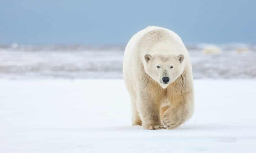 The Arctic national wildlife refuge is the prime denning area for the Beaufort Sea population of polar bears.