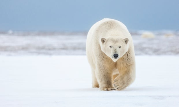 The Arctic national wildlife refuge is the prime denning area for the Beaufort Sea population of polar bears. Photograph: Patrick J Endres/Getty Images
