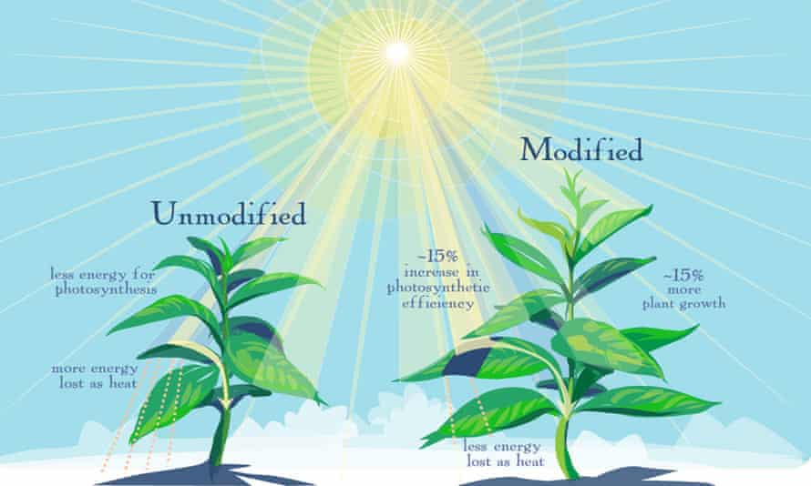 Genetically modified plants are better able to make use of the limited sunlight available when their leaves go into the shade, researchers report.