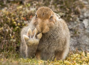 Photographer Andy Howard spent over 5 hours with this mountain hare which appears to raise its paw to say hello in Cairngorms, Scotland.