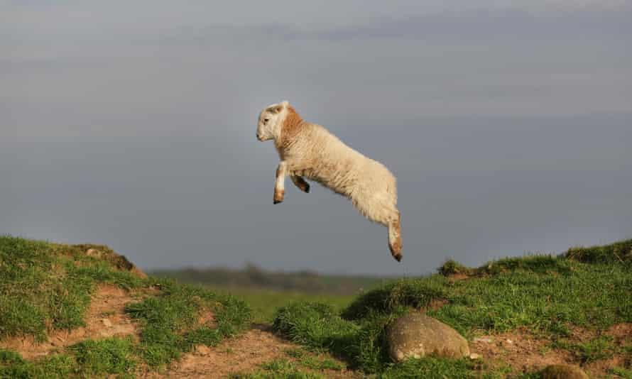 Jumping lamb Pen Llyn, Gwynedd